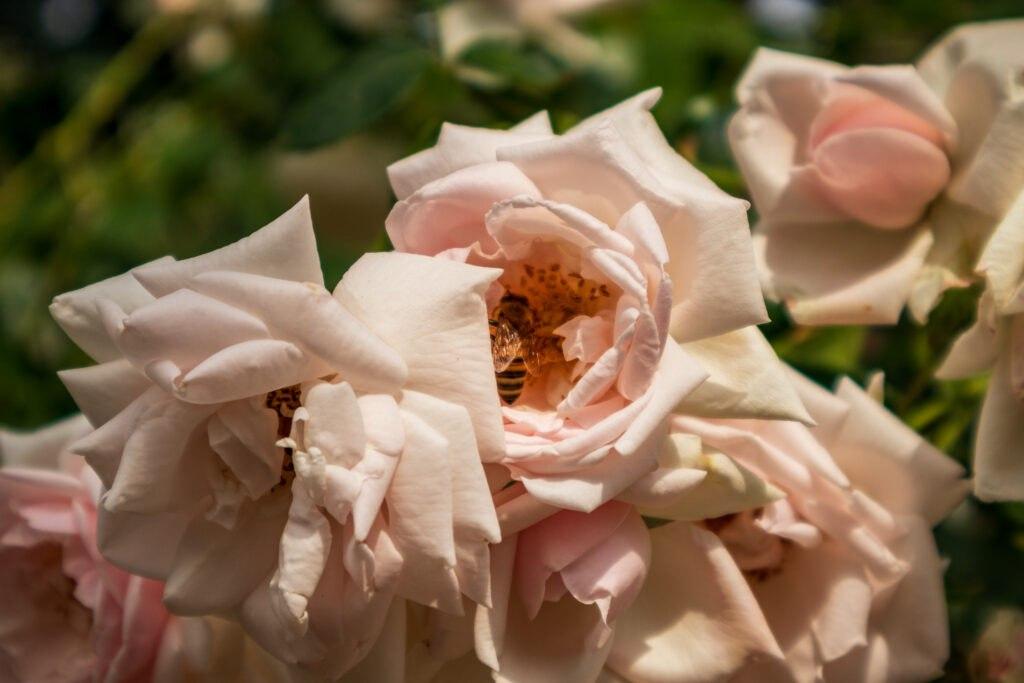 Bienen und Rosen, Bild 2 - Palmengarten, Leipzig