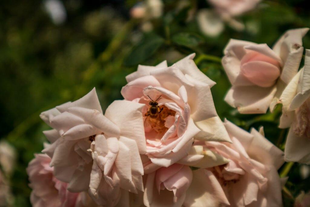 Bienen und Rosen, Bild 3 - Palmengarten, Leipzig