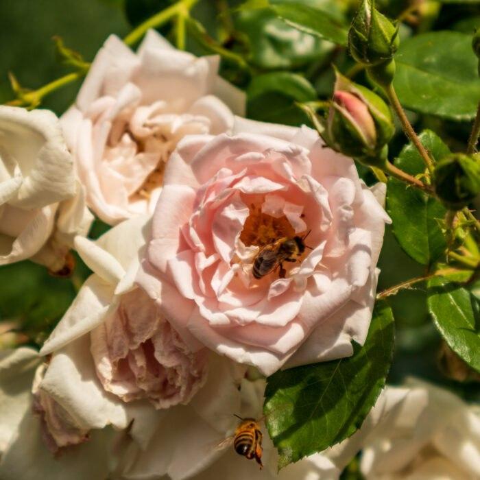 Bienen und Rosen - Palmengarten, Leipzig